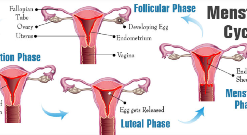 Menstrual Cycle – Everything you need to know